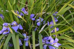 Iris lazica