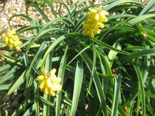 Muscacri macrocarpum 'Golden Fragrance'