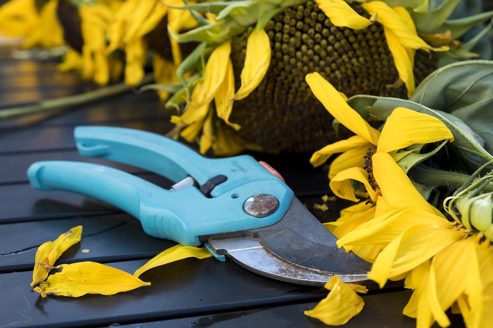A pair of blue pruning shears near sunflowers