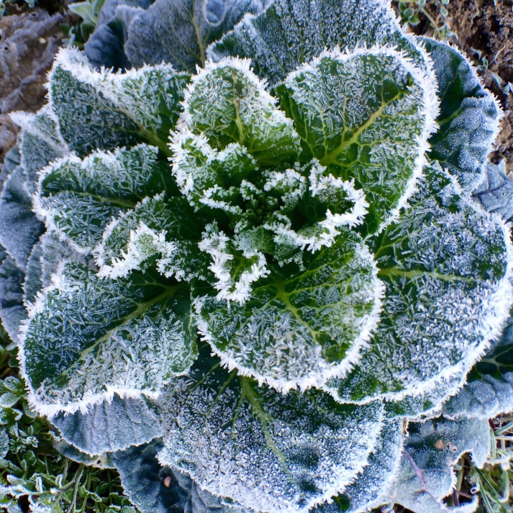 Spinach in a garden with frost over it