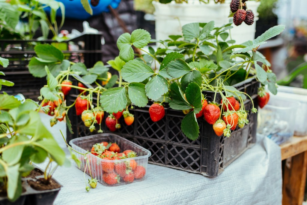 strawberry plant with bowl of strawberries to the side