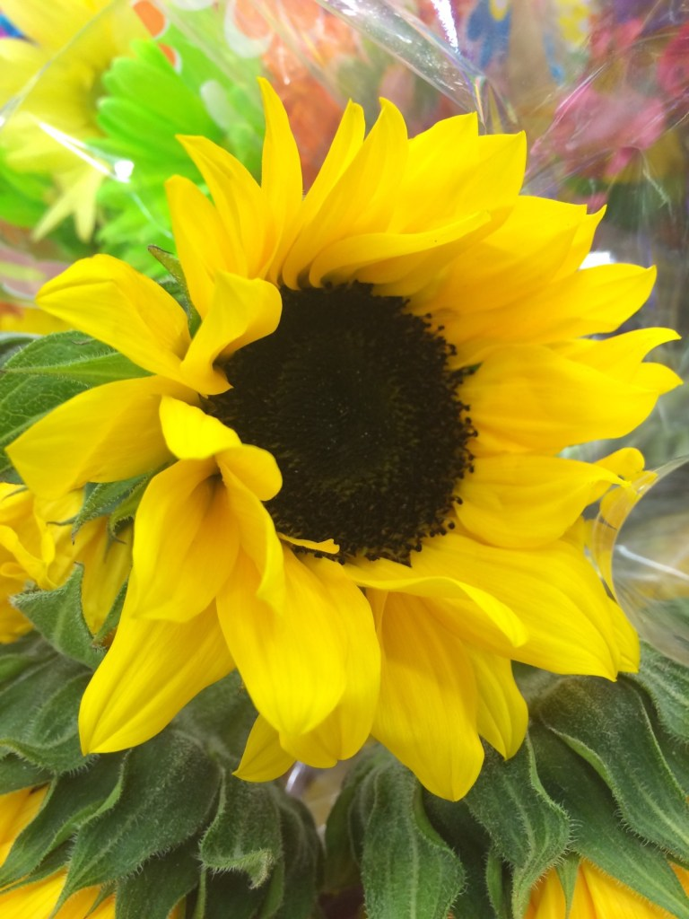 close up of mini sunflower on a sunny day