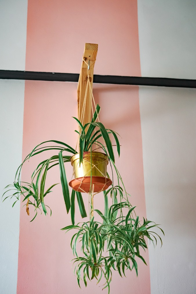 Worms eye view of spider plant in hanging pot with dangling spiderettes
