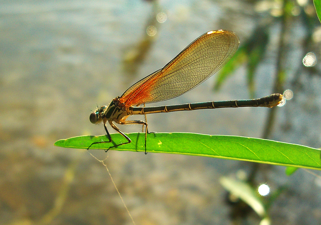 Red Damselfly on a leaf by the river