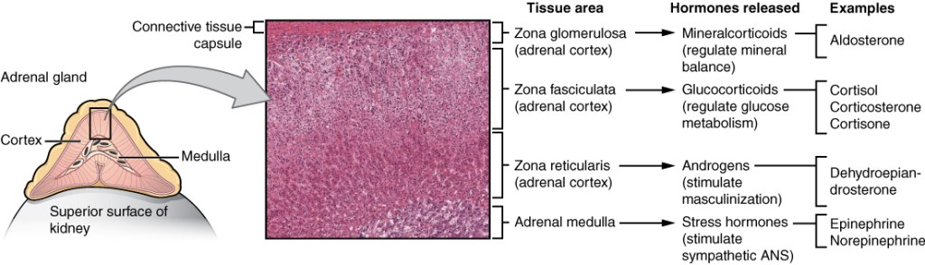 The Adrenal Glands. Three cortical layers with different hormone production & function. Courtesy of BC Open Textbooks