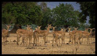 The ever-cautious Impala, Mana Pools
