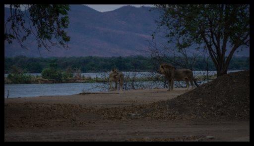 Lion visit at Nyamepi campsite, Mana Pools