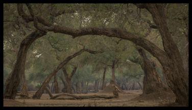 Mana Pools' enchanted acacia forest