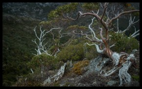 Twisted Snowgum, Cradle Mountain
