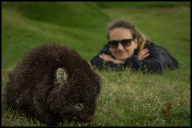 Observing a juvenile Wombat at Narawntapu National Park