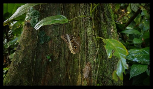 Morpho Butterfly in Jungle at Tortuguero Hill