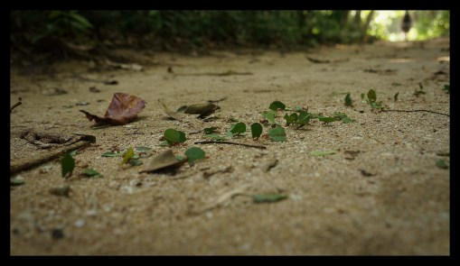 Troop of leaf-cutting ants at Cahuita