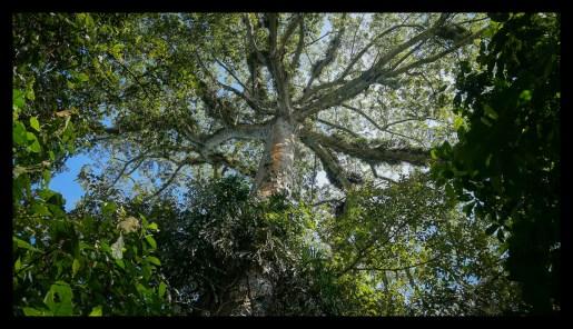 Big tree at Finca Monteclaro