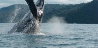 Bahia Solano, Whales