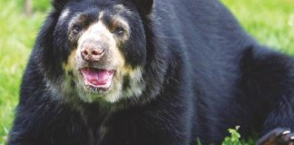 The Andean or spectacled bear