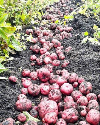 60 Nativas Bogotá, native potato Colombia