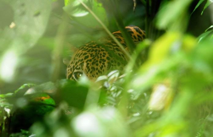 Jaguar Conservation Colombia Chiribiquete