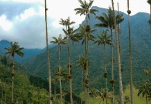 The wax palms of the Valle de Cocora