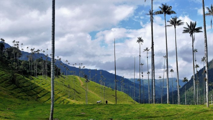Wax palms cling on in forests cleared for grazing in Cocora, Colombia. Two centuries ago Humboldt noted human-caused environmental damage in the New World.