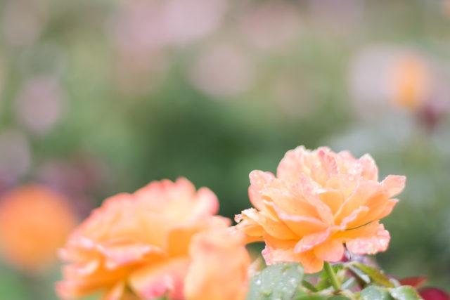 Roses in Julia Davis Park