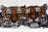 Russia_two_tigers