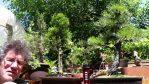 Pruning a White Cedar Bonsai