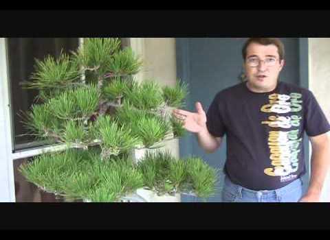 Seasonal Japanese Black Pine Care