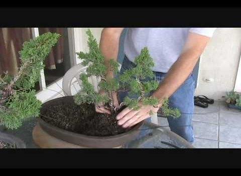 How to Create a Shimpaku Juniper Group Bonsai