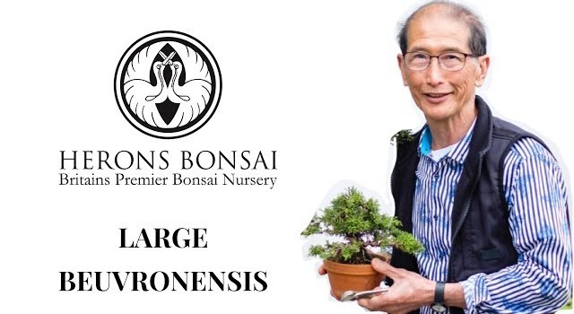 How to make a large Beuvronensis bonsai