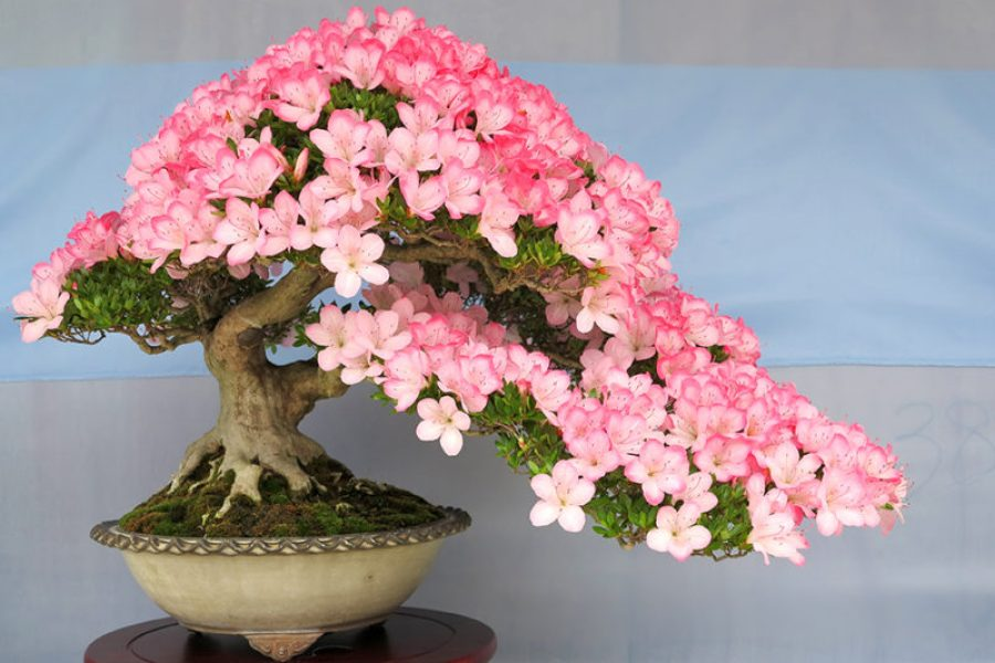 Flowering Bonsai