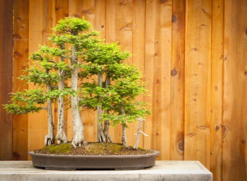 Yamadori (Wild) Bonsai