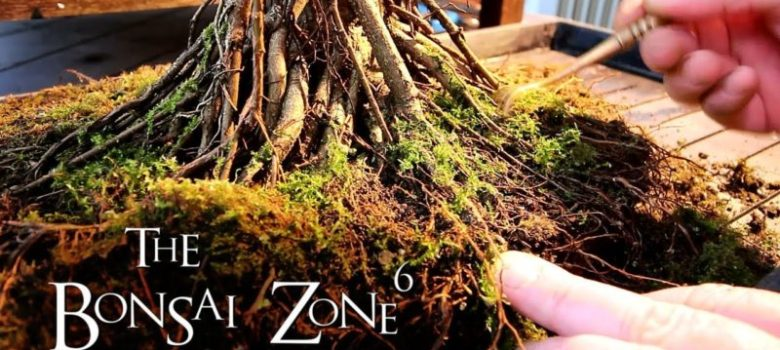 Detail work to Ficus microcarpa Bonsai Part 4