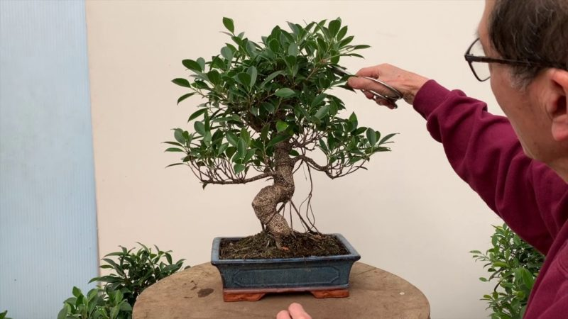 Admirable Ficus Bonsai Care And Pruning The Bonsai Seed Wiring 101 Cajosaxxcnl
