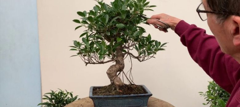 Ficus Bonsai Care and Pruning
