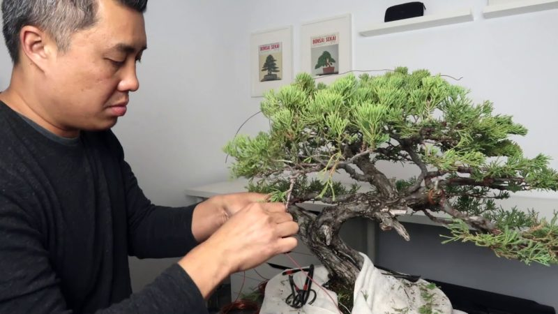 Stupendous Juniper Bonsai Wiring And Styling Timelapse The Bonsai Seed Wiring Digital Resources Funapmognl