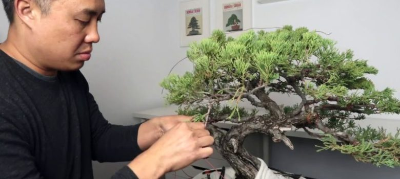 Juniper Bonsai Wiring and Styling Timelapse