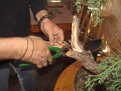 Using Bonsai splitter to create a jin or deadwood