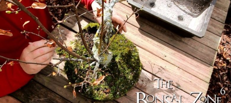 Repotting Littleleaf Linden Bonsai