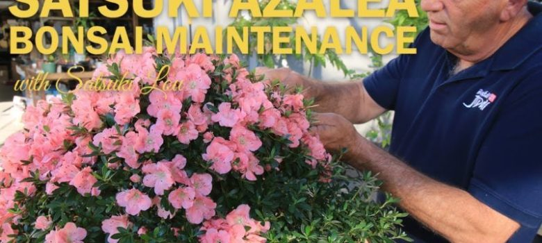 Satsuki Azalea Flowering Bonsai Maintenance