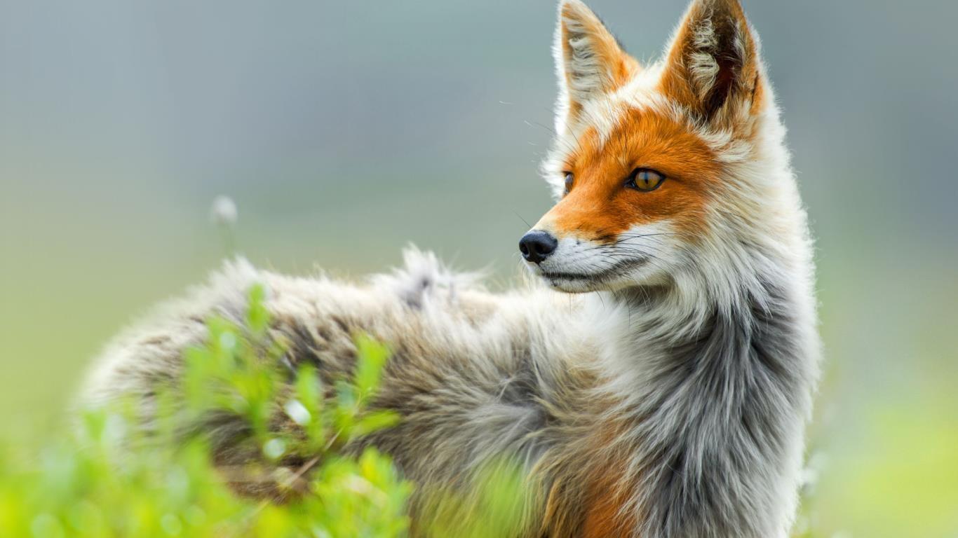 RR Fox