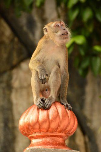 monkey sitting at batu caves kuala lumpur