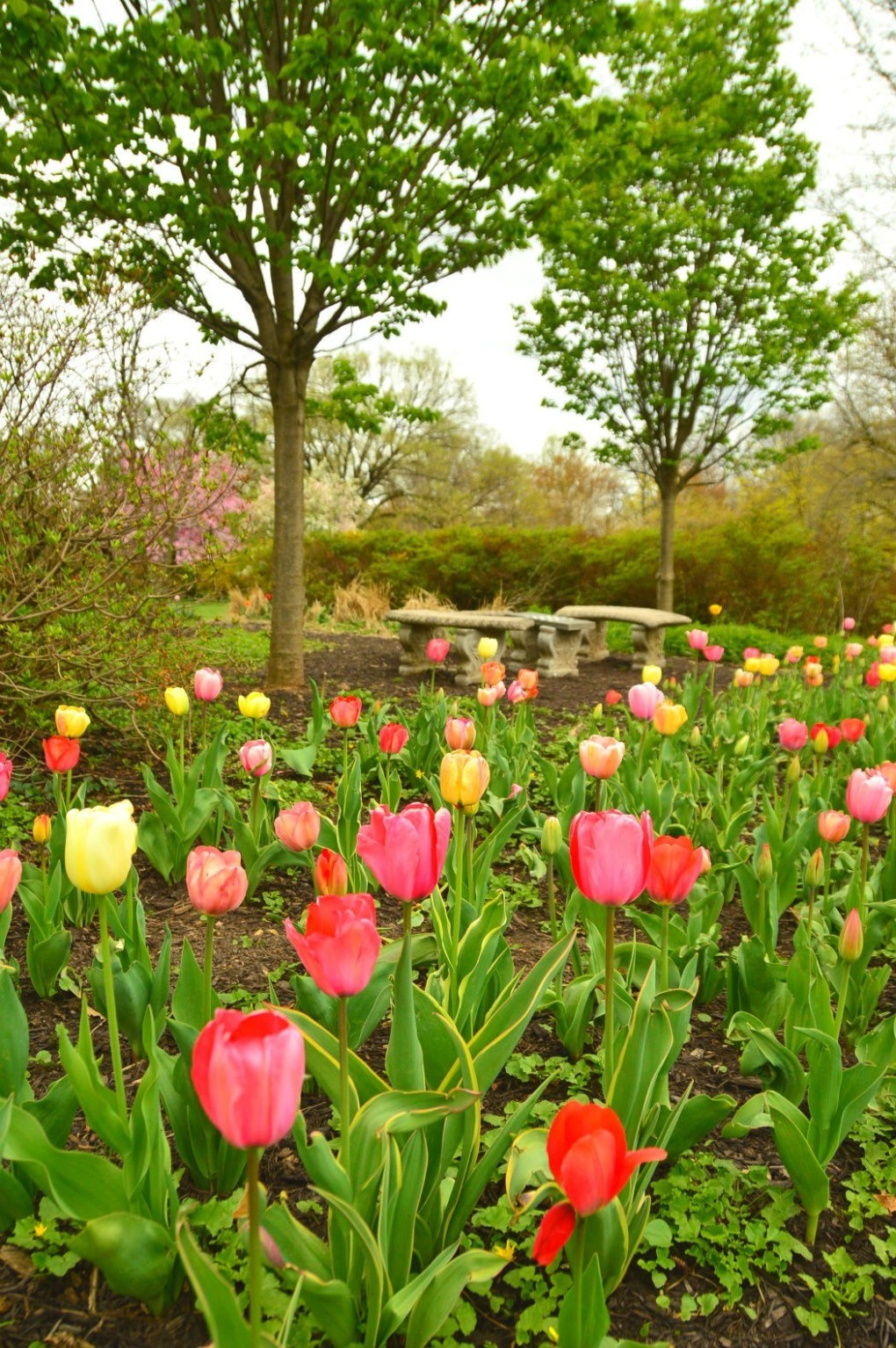 sherwood gardens colourful tulips in bloom