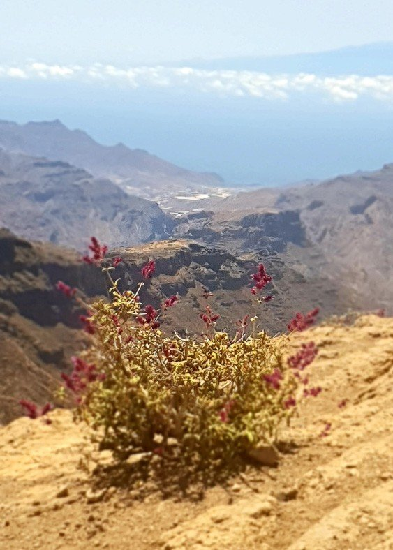 Purple wildflowers on Gran Canaria with mountains in the background