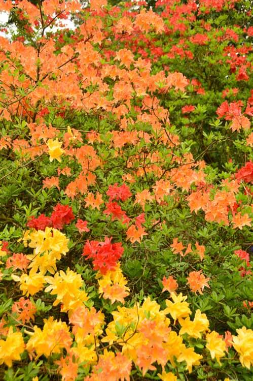 england_cotswolds_westonbirt-arboretum-colourful-flowers