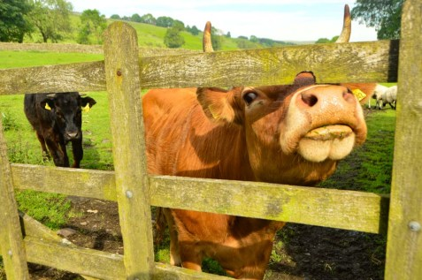 england_yorkshire-cow