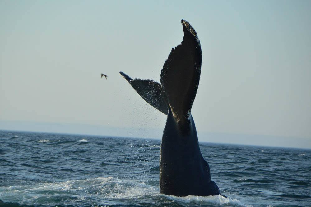 canada_new-brunswick_bay-of-fundy-whale-humpack-tail-with-bird