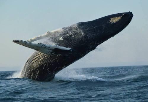 canada_new-brunswick_standrews-whale-watching-humpack-breach