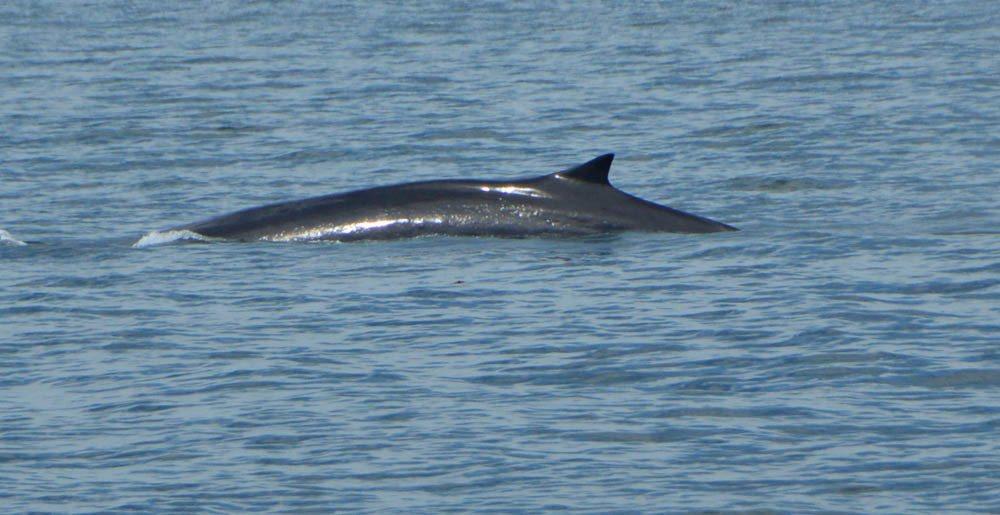 canada_new-brunswick_standrews-whale-watching-minke-whale
