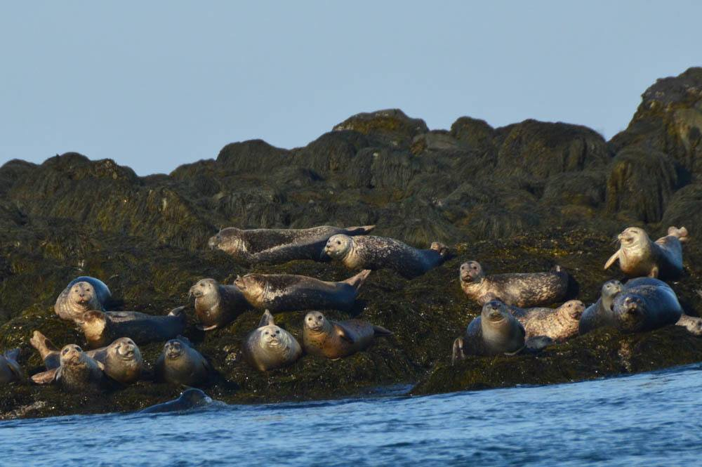 canada_new-brunswick_standrews-whale-watching-tours-seals