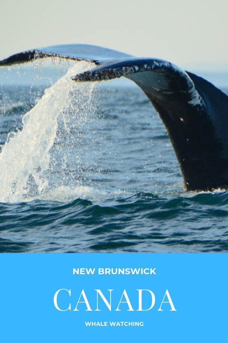 Heading to New Brunswick and keen to see some whales? Read my Whale Watching St Andrews how-to guide & increase your chances of seeing Whales in the Wild! #whalewatching #newbrunswick #canada